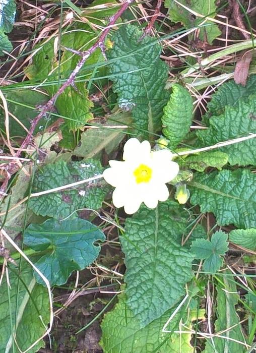 1st primrose